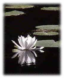 lotus222